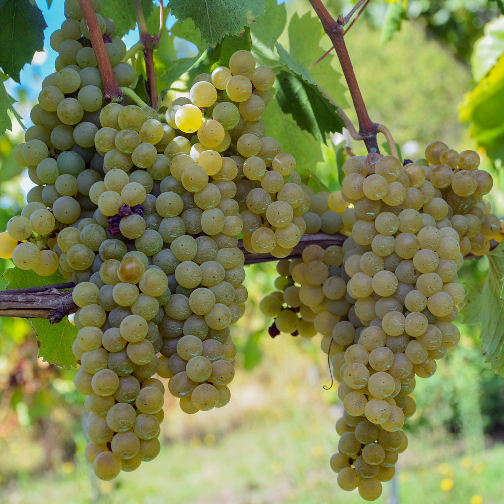 grappoli di uva di greco di tufo
